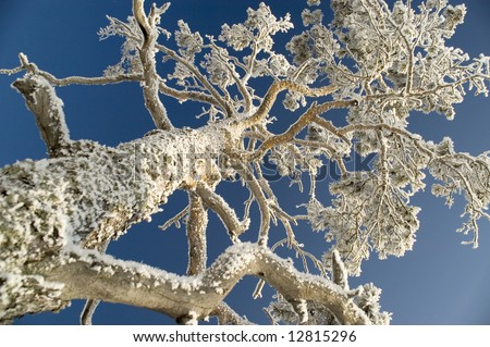 On a background of the light-blue sky a tree in snow.