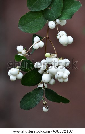 On a branch with leaves ripe fruit symphoricarpos white
