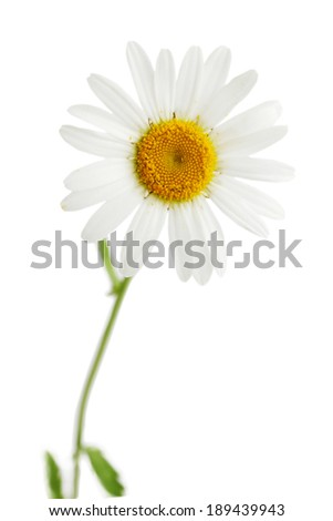 One beautiful daisy isolated on white background