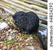 one black otter on stone - stock photo