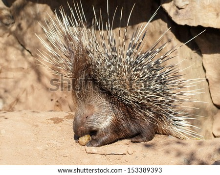 One dangerous porcupine in defensive pose - close view