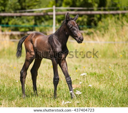 One day old foal of sport horse on the pasture