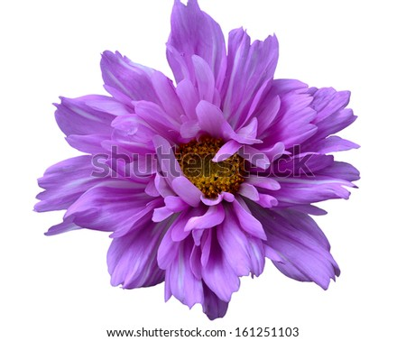 One pink Cosmos flower isolated on the white background