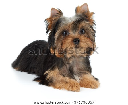 One puppy of the Yorkshire Terrier isolated on white background