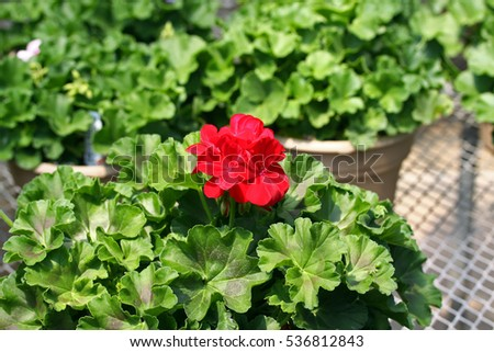 One red geranium flower surrounded by green geranium plant leaves.