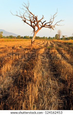 one tree in the field after harvest