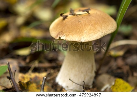 One white mushroom porcini in the forest close up