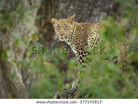 One young female African Leopard in a tree, Kruger Park, South Africa