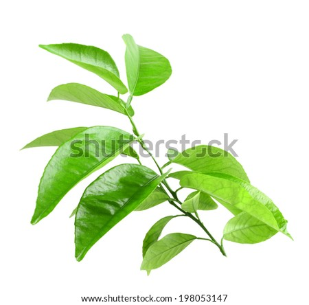 Only branch of citrus-tree with green leaf. Isolated on white background. Close-up. Studio photography.