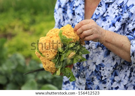 Orange cauliflower being harvested. Hands working in the garden.