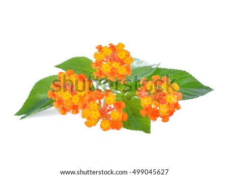 Orange flower, Lantana camara flower is isolated on white background