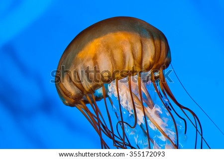 Orange Jellyfish Swimming against blue lighting