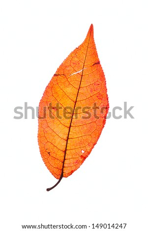 orange leaf of a willow tree isolated on white