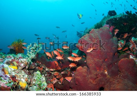Orange lyetail anthias fish with red coral in Anilao, Philippines.