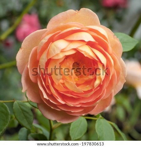 "Orange, pink and peach flower of the Lady of Shalott David Austin rose - Rosa ""Lady of Shalott' (Ausnyson) -in the garden"