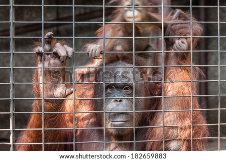 Orangutan with her baby in cage