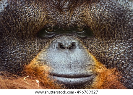 Orangutang portrait in Chiang Mai Zoo, Thailand ; specie Pongo pygmaeus family of  Hominidae