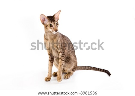 Oriental cat isolated on white background