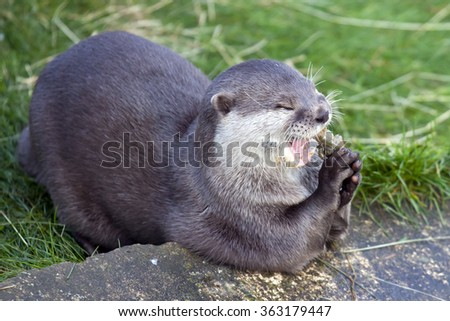 Oriental Small Clawed Otter eating a fish