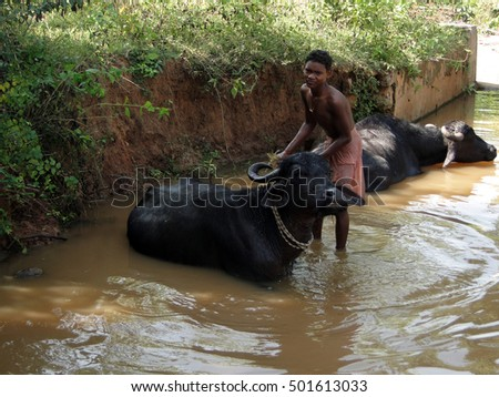 ORISSA INDIA - NOV 10 - Young boy washes his water buffalo in a shady river on Nov 10, 2009 in Orissa, India .
