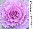 ornamental decorative cabbage close-up - stock photo