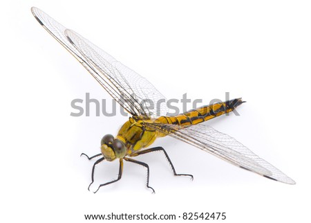 Orthetrum cancellatum. Female Black-tailed Skimmer dragonfly on white background.