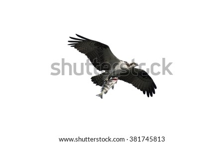 Osprey Bird in Flight Carrying a fish in its talons isolated over white background