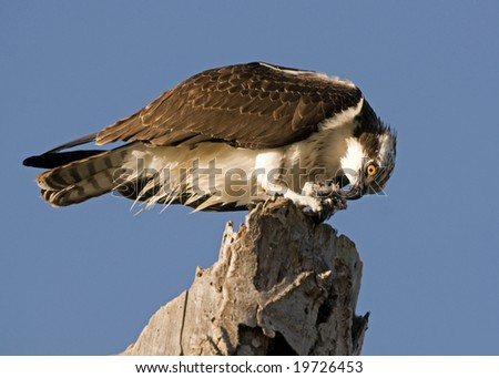 Osprey Eating