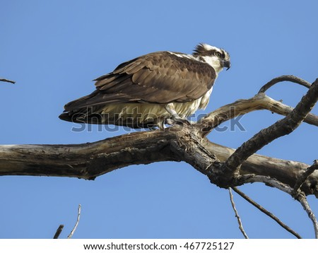 Osprey in an Old Dead Tree
