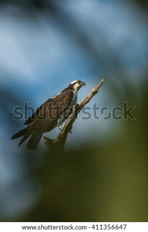 Osprey (Pandion haliaetus). It is a large raptor, reaching more than 60 cm (24 in) in length and 180 cm (71 in) across the wings.