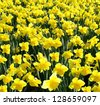 Outdoor shot of yellow daffodils in a nicely full flowerbed - stock photo