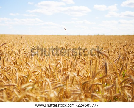 outdoor wheat field yellow spike detail