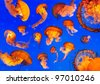 Pacific Sea Nettle Jellyfishes (Chrysaora quinquecirrha) - stock photo