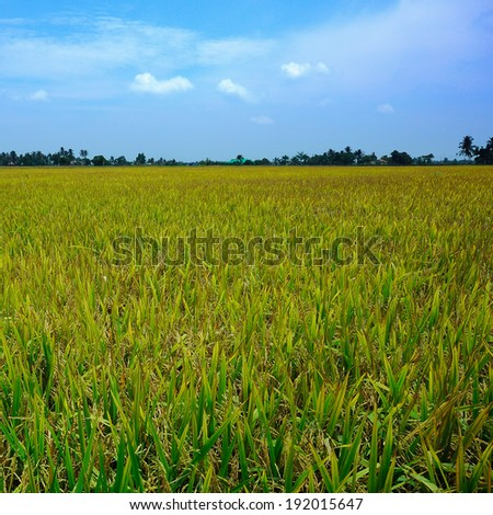 Paddy field during hot day and windy day at Sekinchan, Malaysia