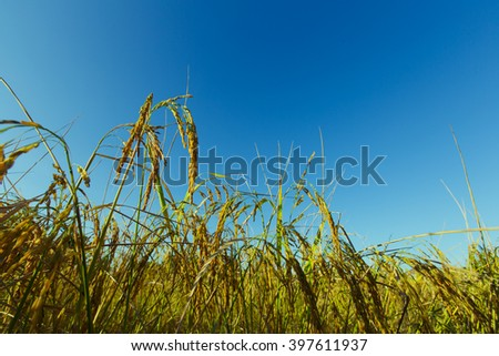 Paddy rice in rice field