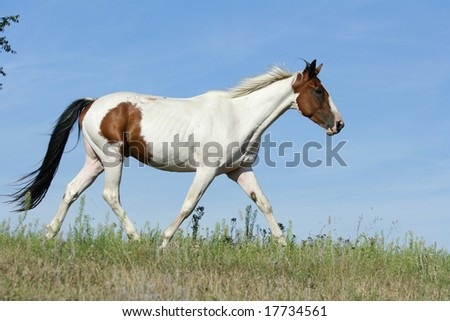 Paint horse with blue background
