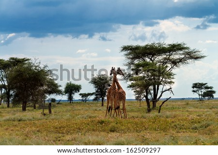 Pair of Giraffes in love in the wilderness of the Serengeti, Tanzania