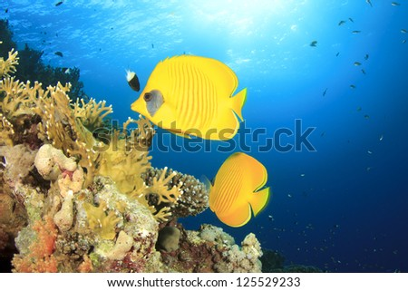 Pair of Masked Butterflyfish on coral reef in Red Sea
