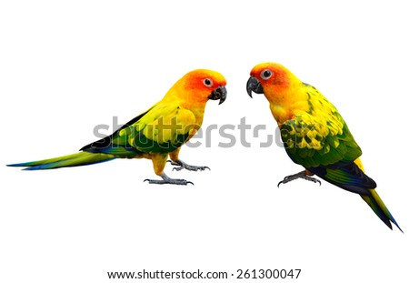 Pair of Sun Conure, the beautiful yellow parrot bird isolated on white background
