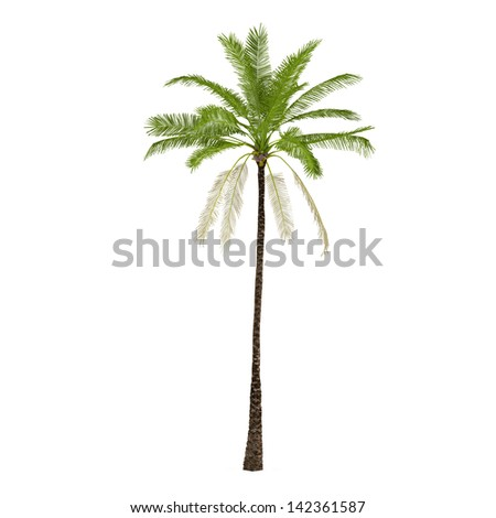 Palm plant tree isolated. Elaeis guineensis