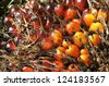 Palm Seed Cluster Fruit Plat - stock photo