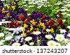 Pansies in the flower bed. (Flower-beds in the spring) - stock photo