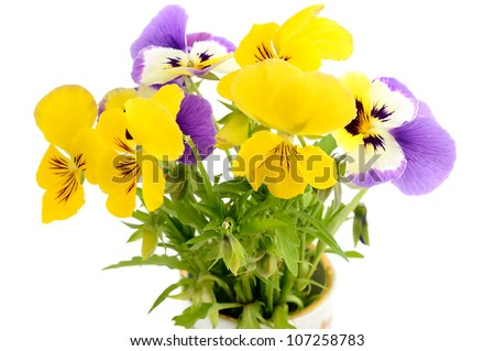 Pansies isolated on white background
