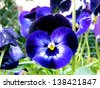 pansy - stock photo