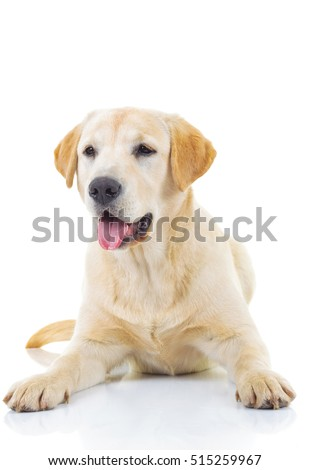 panting yellow labrador retriever dog is lying on white studio background