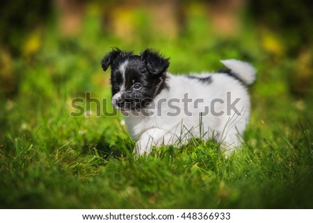 Papillon puppy walking in the yard in summer