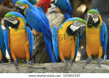 Parrot - Blue-and-Yellow Macaw deposit on the timber
