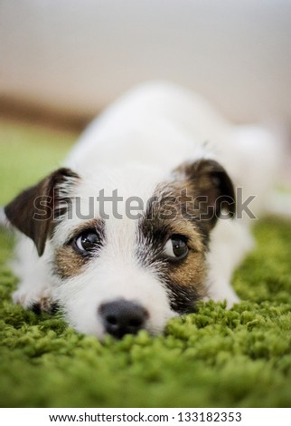 Parson and Jack Russell Terrier mix puppy
