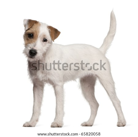 Parson Russell Terrier puppy, 6 months old, standing in front of white ... White Parson Russell Terrier