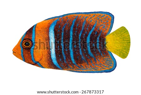 Passer Angelfish original acrylic Painting isolated on white background